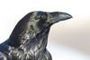 Raven, head shot.