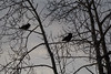 Two ravens waiting in the trees along the Moose River before sunrise.