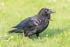 Adult raven on grass. Nictating membrane over eye.