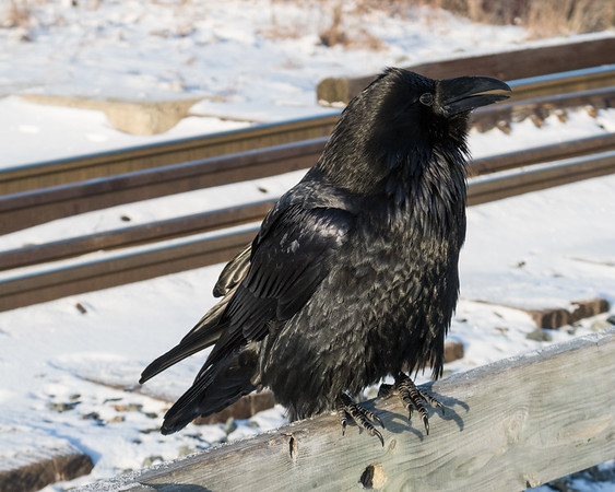 Raven sitting on railing of railway bridge over Store Creek.