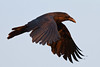 Raven at dawn, wings down