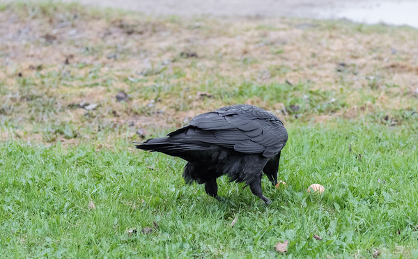 Raven eating eggs on lawn.