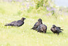 Three juvenile ravens in front of an adult.