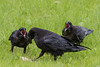 Adult raven with a piece of meat while two juvenile ravens watch with their mouths open.
