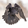 Raven in flight, wings folded and pointing down