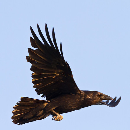 Raven, in flight, one wing out.