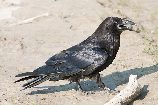 Raven on clay, beak open, eye partially membrane covered