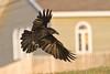 Raven close to ground, banking