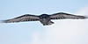 Raven in flight, wings outstretched, wingtips out of frame
