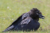 Raven in the grass, beak open, head twisted to side.