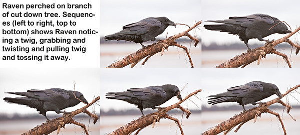 Raven perched on branch of cut down tree along the shore of the Moose River in Moosonee, Ontario. Sequence of five shots, showing Raven noticing a twig, grabbing, twisting, pulling and discarding twig.