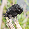 Raven on small stump, somewhat crouched, beak open. This version blue saturation reduced.