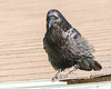 Raven on the corner of the roof.