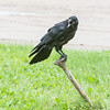 Juvenile raven sitting on water shut off. Note pink mouth.