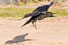 Raven about to land, wings out, beak open, feet down, shadow.