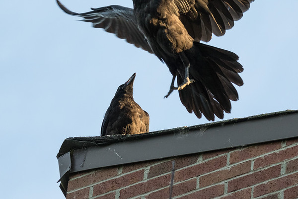 Juvenile raven at left, adult raven takes off at right from roof.