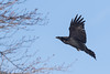 Raven about to land in trees.