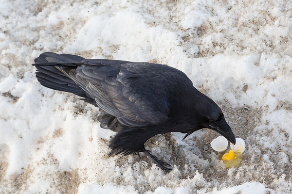 Raven enjoying an egg at the train station in Moosonee.
