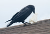 Raven on rooftop opening a package of lard.