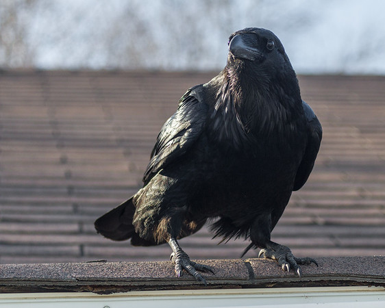 Raven on the edge of the roof.