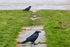 Two ravens on my front walk.