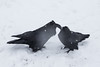 Two ravens in snowstorm 2014 November 9
