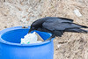 Raven examing garbage can near public docks. Tip of tail out of frame.