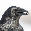Raven, head shot, beak open, snow in mouth.