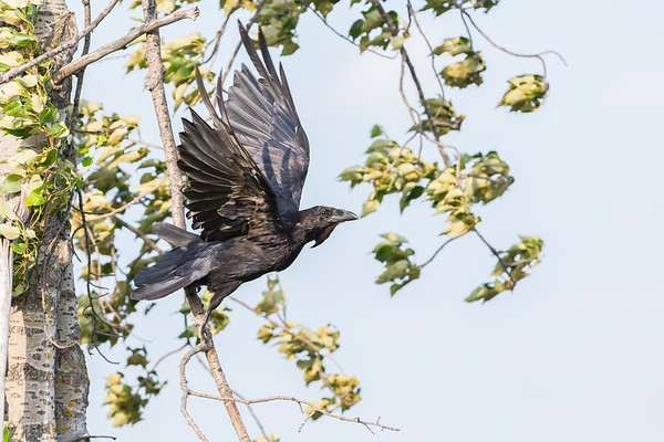 Juvenile raven flying close to a tree, wings up.