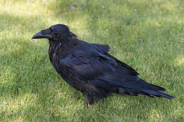 Raven on the grass.
