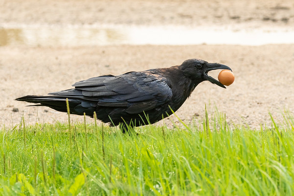 Raven picking up a brown egg at the edge of the road 2018 August 12.