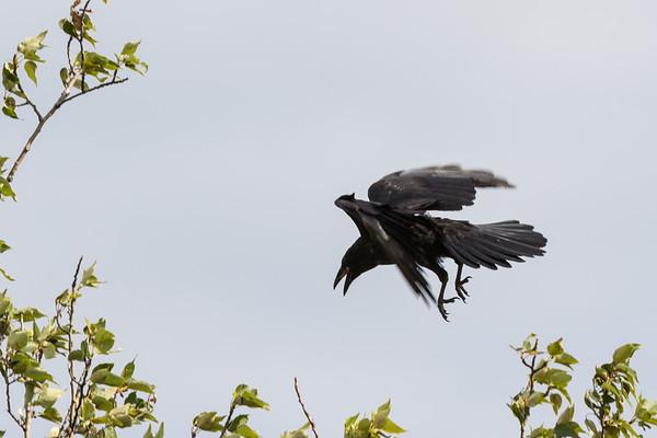 Junvile raven practicing landing in tree.
