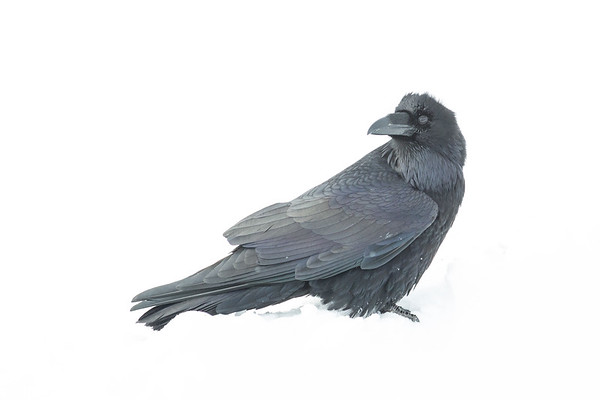 Raven in snow. Head turned.