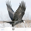 Raven in flight from side rear carrying an egg