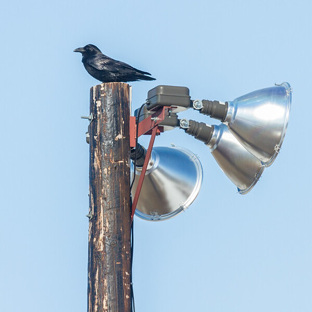 Raven on top of light pole at baseball diamond.