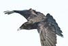 Raven, in flight, snow on beak