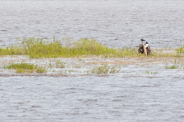 Two corvids on a stump on sandbar in the Moose River t Moosonee.