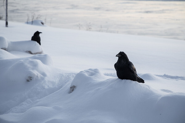 Two ravens before dawn.