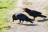Adult raven eating while juvenile screams for food.