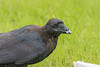 Headshot of juvenile raven eating lard.