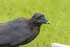 Headshot of juvenile raven eating lard.