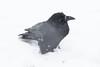 Raven in snow storm.