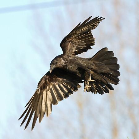 Raven in flight, tail spread.