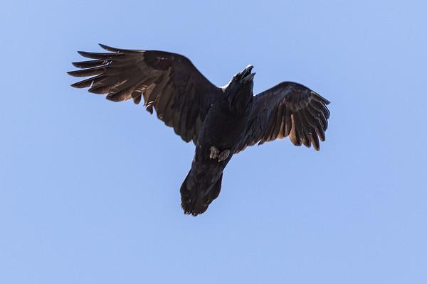 Raven overhead, wings bent, beak open.