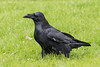 Raven in the grass, note exposed shaft of feathers.