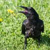 Juvenile raven on lawn.