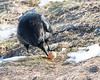 Raven enjoying an egg along the Moose River.
