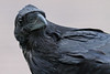 Raven, headshot, some portions out of focus.