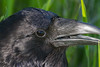 Headshot of raven, opening beak.