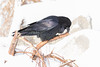Raven cleaning its beak on driftwood.